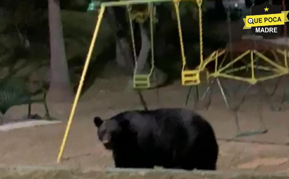 Captan a otro oso en paseando en un parque de NuevoLeón.